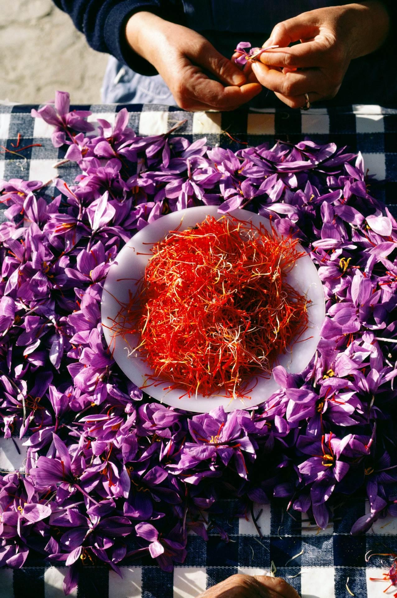 Šafran cvate samo jedan tjedan svake godine a bere se ručno i to sredinom jutra